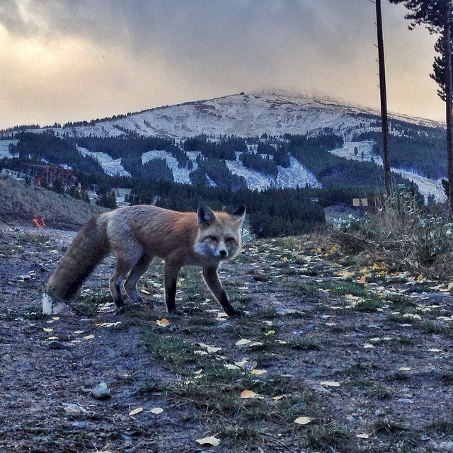 """The neighborhood fox came to check out all the snow. 37 days to #BreckOpeningDay!"" - @breckenridgemtn"