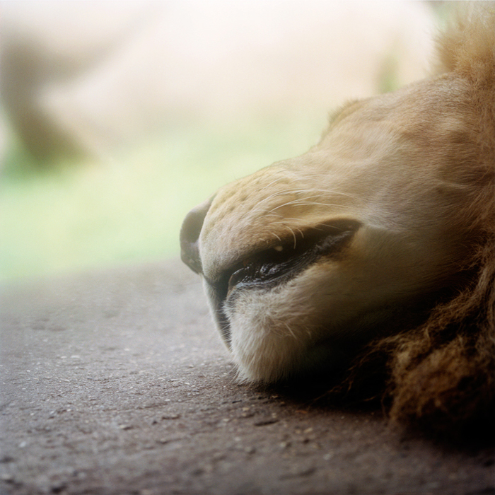 Sleeping Lion, 2005