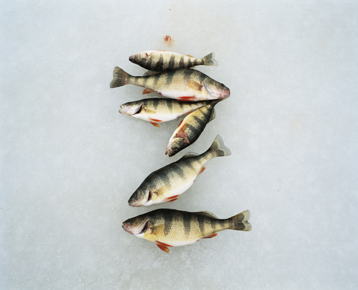 Perch on ice, Lake Wallenpaupak, Pennsylvania