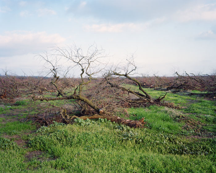 Felled almond orchard. Merced, CA 2011