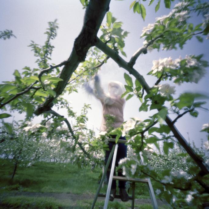 Culling Blossoms #3, Spring, Aomori Prefecture