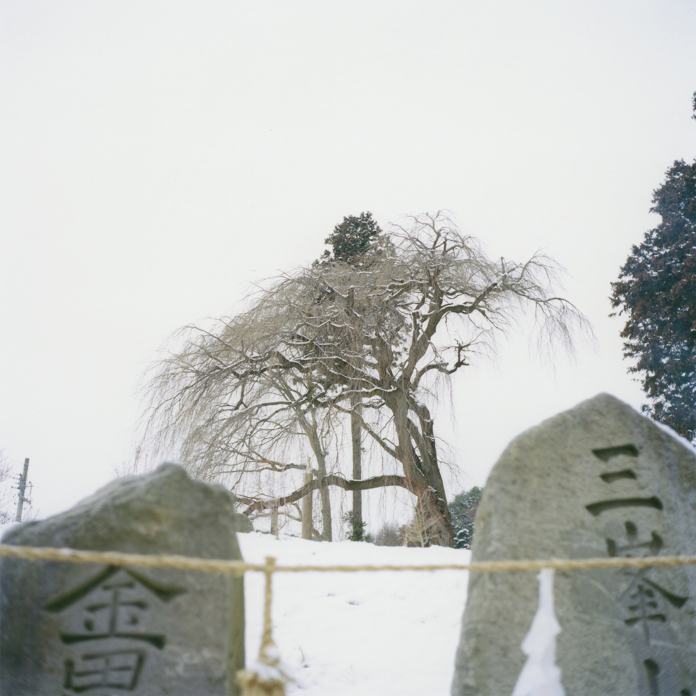 """Goshinboku (a sacred tree)"": This tree protected us for a long time."