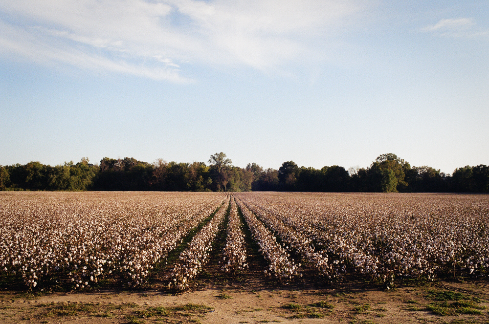 Cotton Landscape