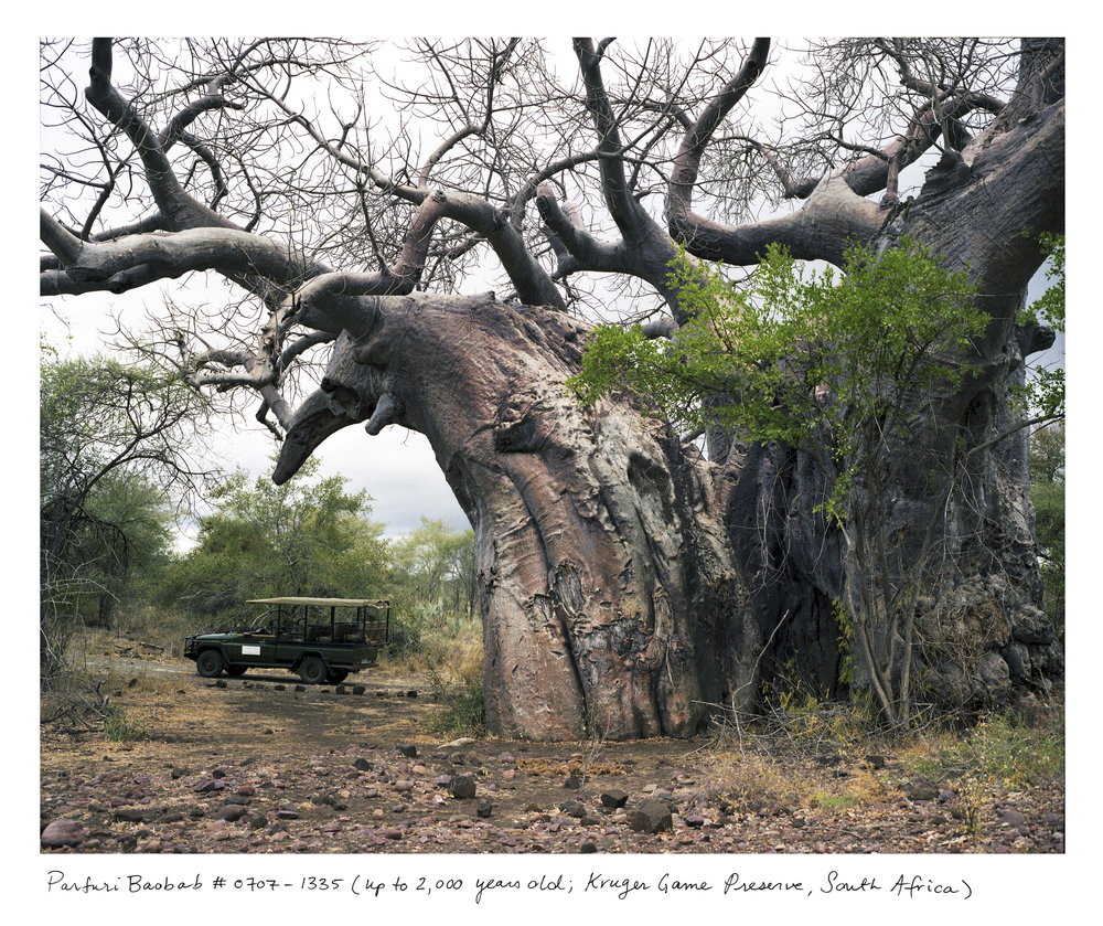 This baobab lives in the Kruger Game Preserve in South Africa and requires an armed escort to visit. Baobabs get pulpy at their centers and tend to hollow out as they grow older. These hollows can serve as natural shelters for animals, but have also been appropriated for some less scrupulous human uses: for instance, as a toilet, a prison, and a bar.