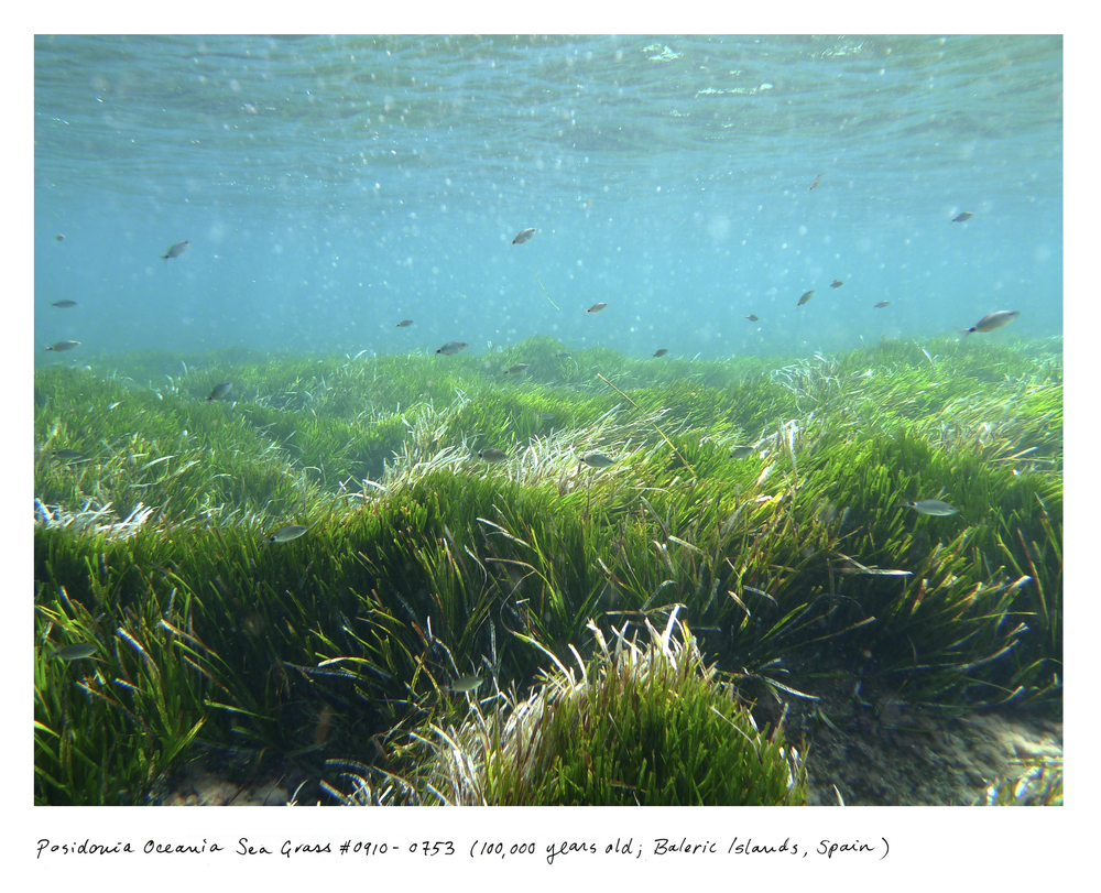 "At 100,000 years old, the Posidonia sea grass meadow was first taking root at the same time some of our earliest ancestors were creating the first known ""art studio"" in South Africa. It lives in the UNESCO-protected waterway between the islands of Ibiza and Formentera."
