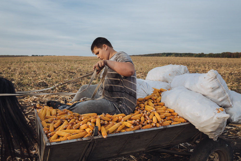 In September, the guys are harvesting corn to feed their farm animals in the winter period.
