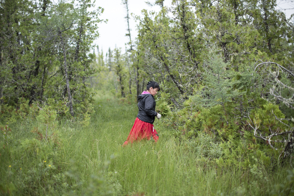 Nicole Nicole Sutherland gathers cedar near the dikes of Fort Albany for her first sweat lodge that she and her long-time friend Joseph Scott built in her backyard.