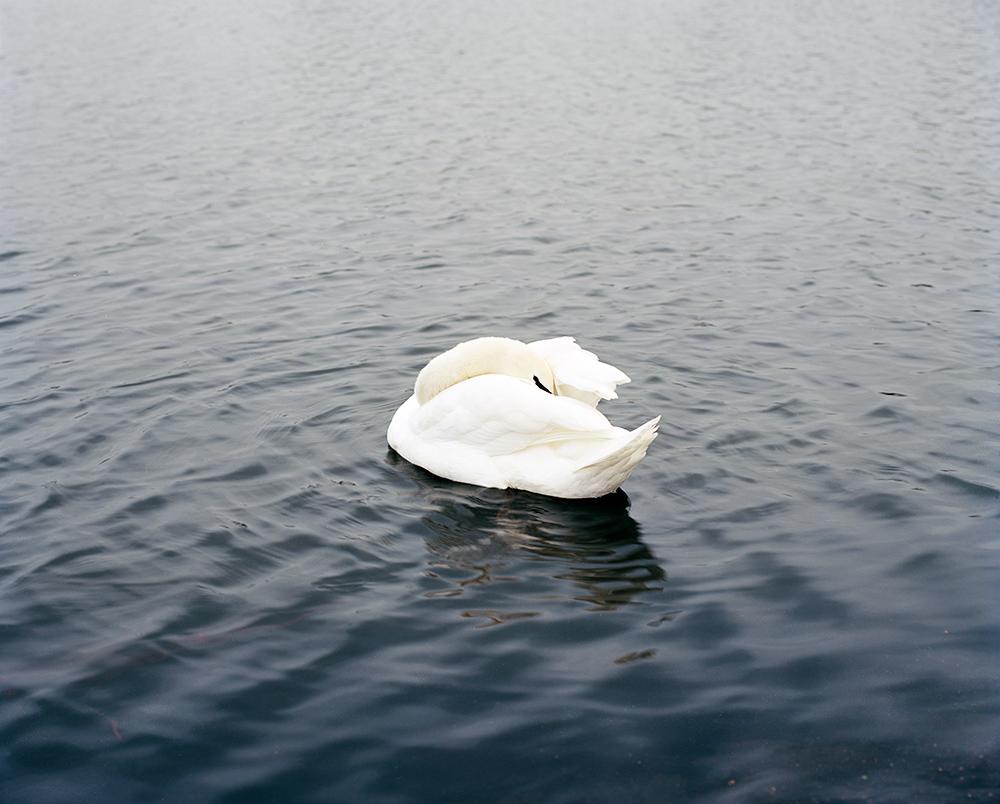 Swan I, London, 2013