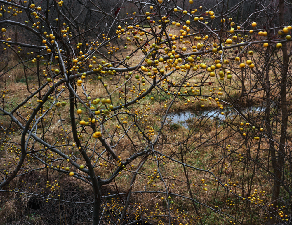 Fruit Tree, Bussey Brook Meadow