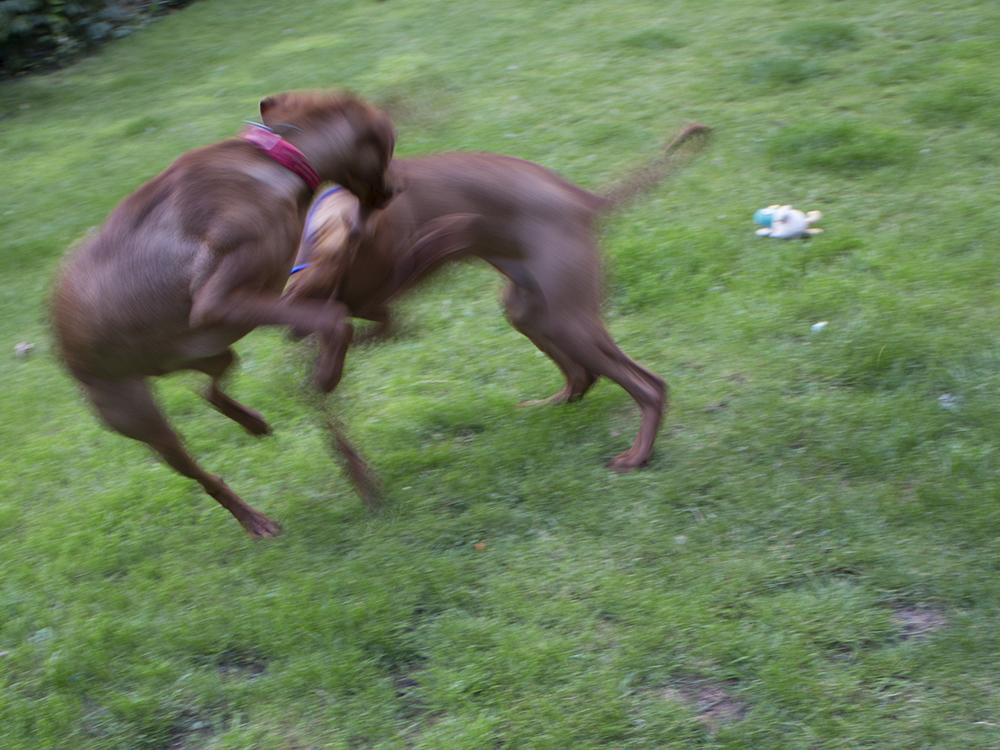 vizsla puppies playingwith mother014.jpg