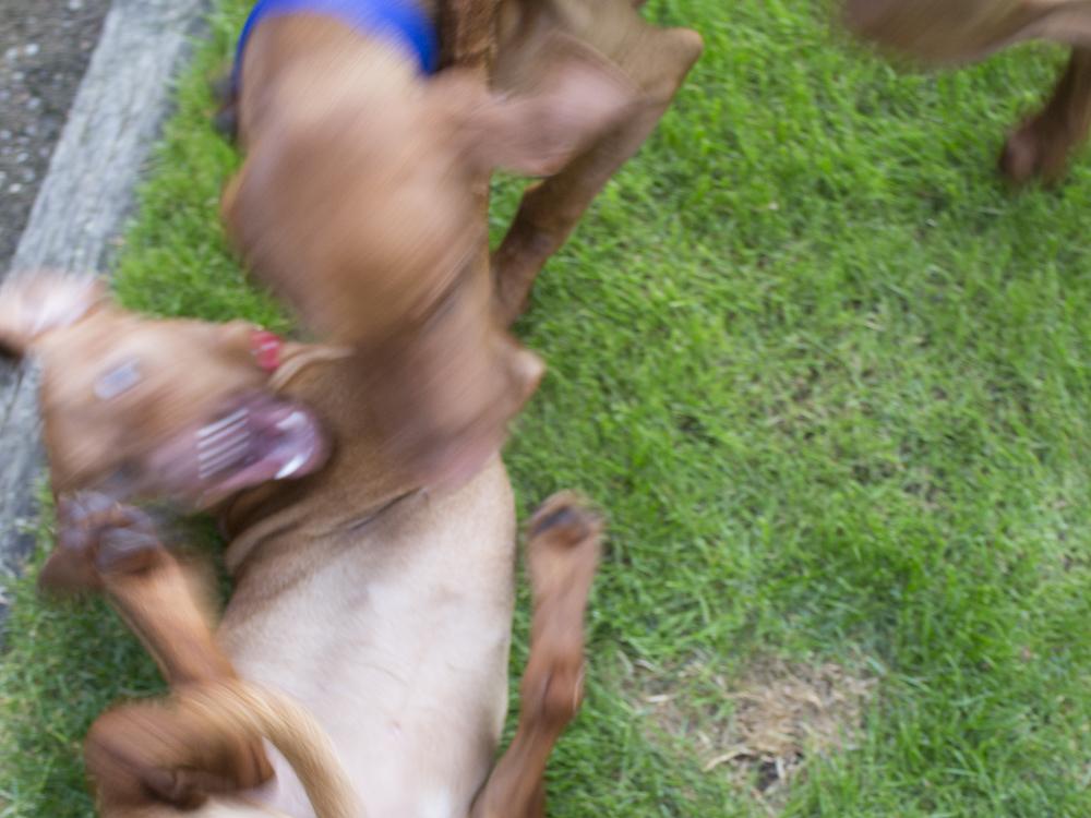 vizsla puppies playingwith mother015.jpg