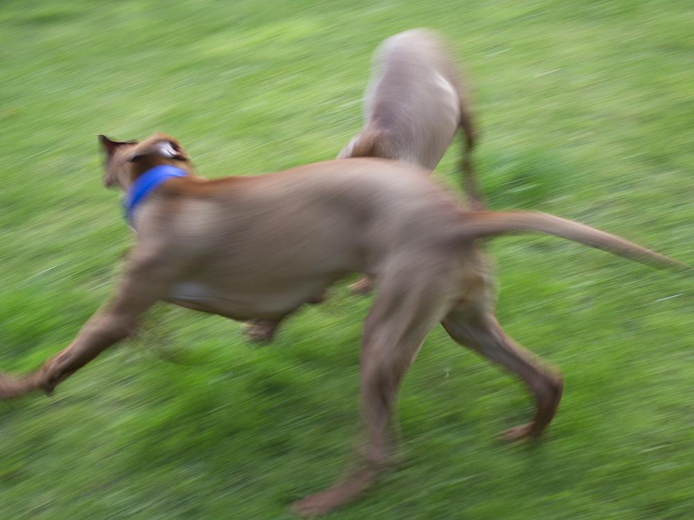 vizsla puppies playingwith mother016.jpg