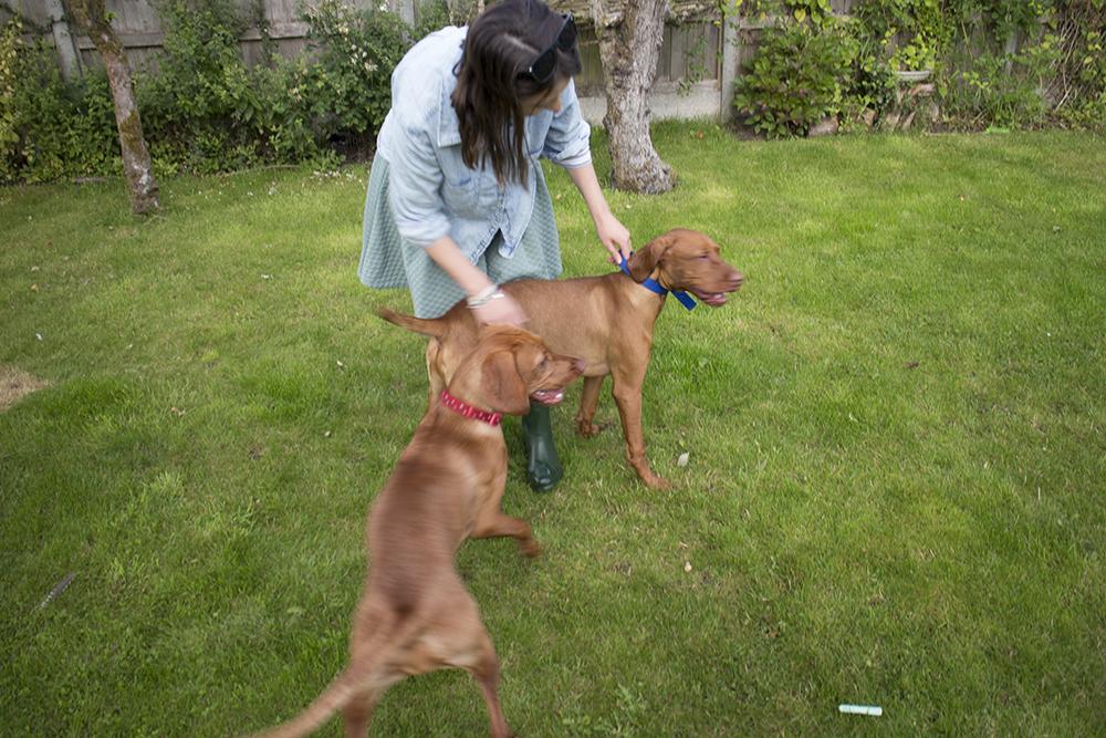 vizsla puppies playingwith mother017.jpg