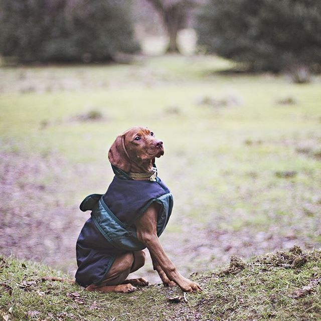 #vizslaaura doing her best sit for a treat at the end of yesterday's walk ☺️🎀 she chased Apollo, barking commands at him and stealing his Kong ball from him on a fetch return 🙈🐶 #vizsla #vizslalife #vizslapuppy #vizslagram #vizslasofinstagram #hungarianvizsla #vizslas #vizslalove