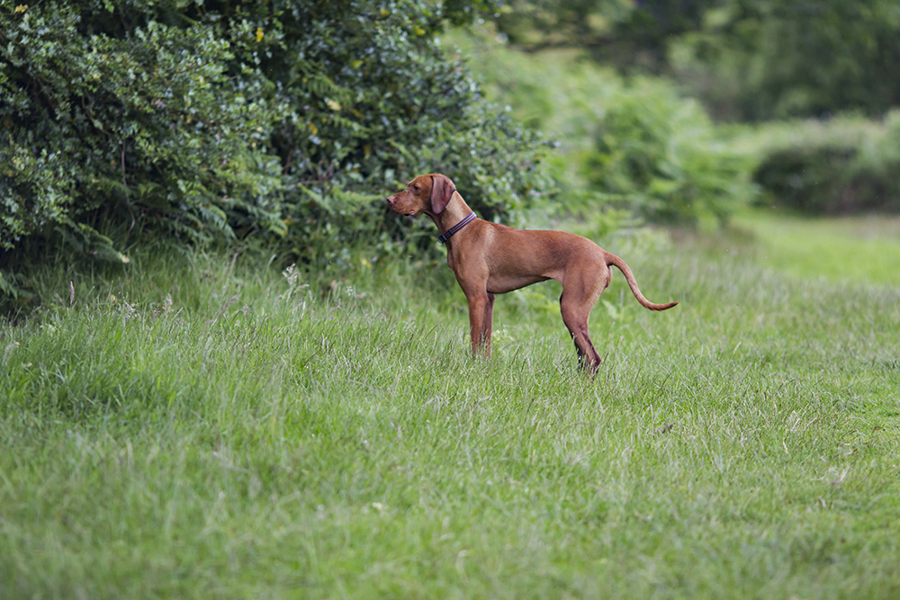 hungarian vizsla blog 5
