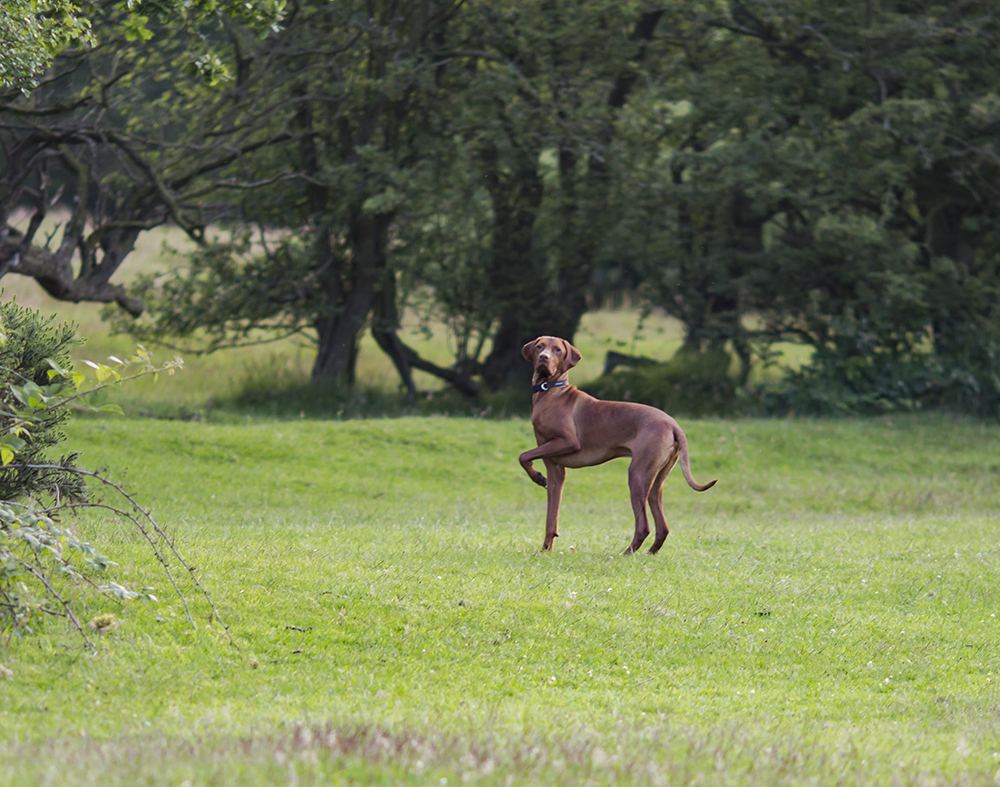 hungarian vizsla blog 10