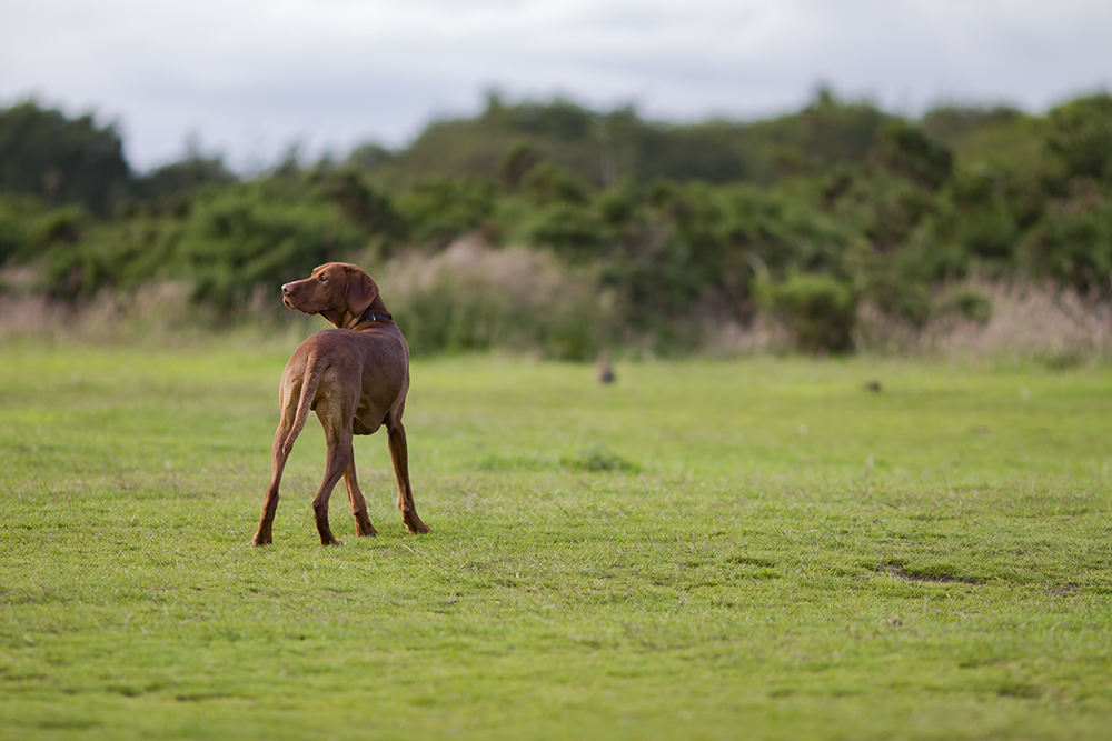 hungarian vizsla blog 11