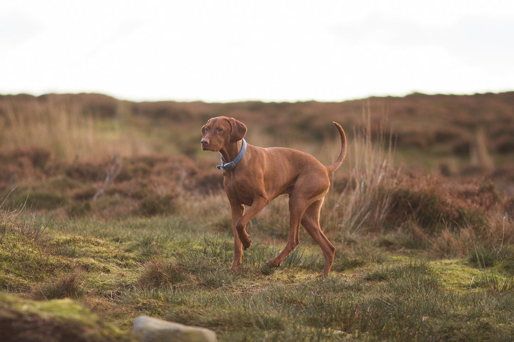 Trough of Bowland uk breaks vizsla moorland
