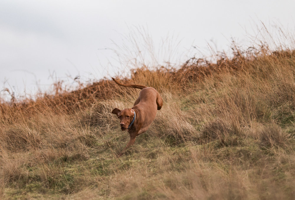 Trough of Bowland uk breaks vizsla recall training