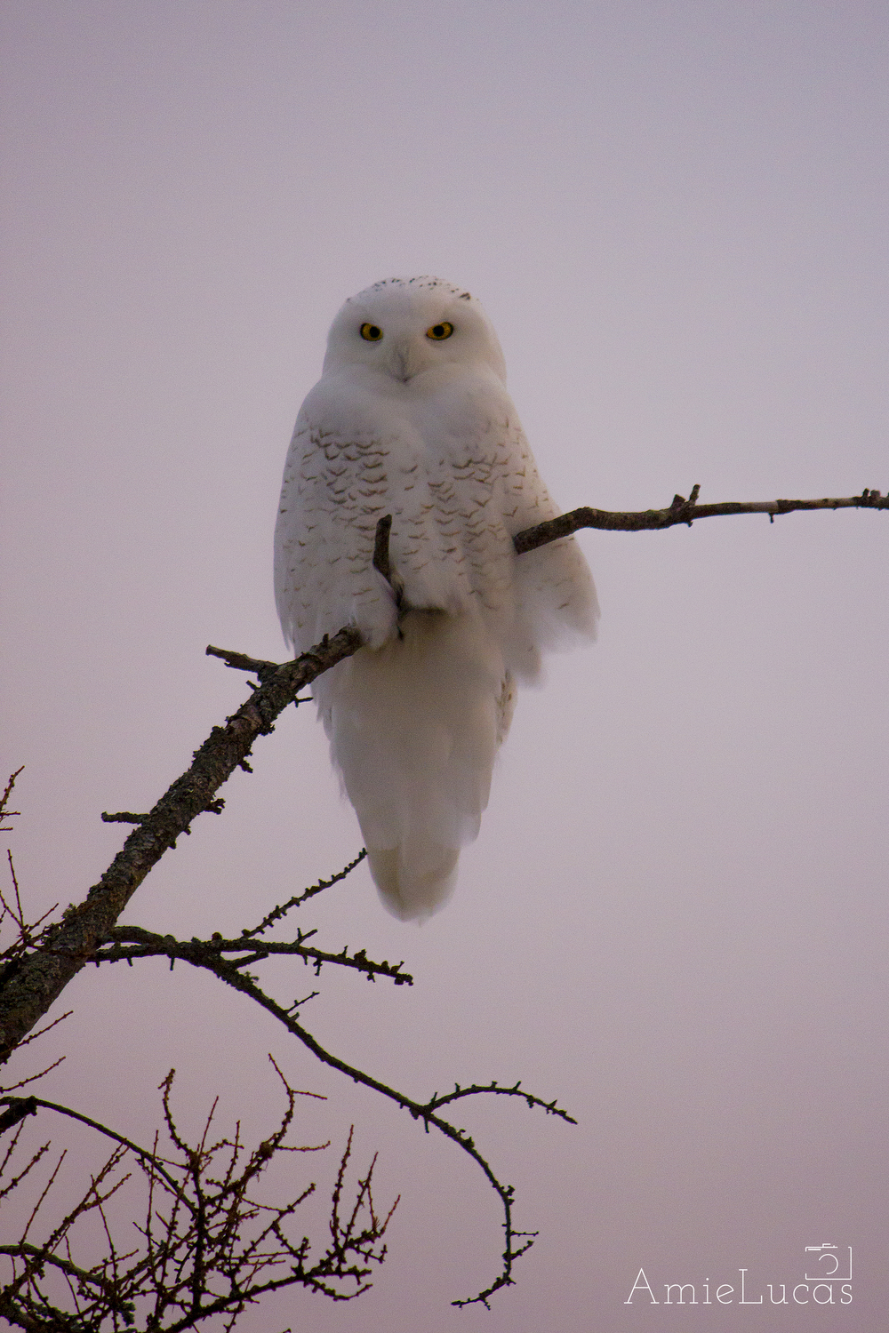Snowy Owl - Brevort, Michigan