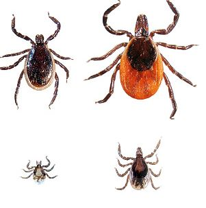 Black-Legged Tick tickencounter.org
