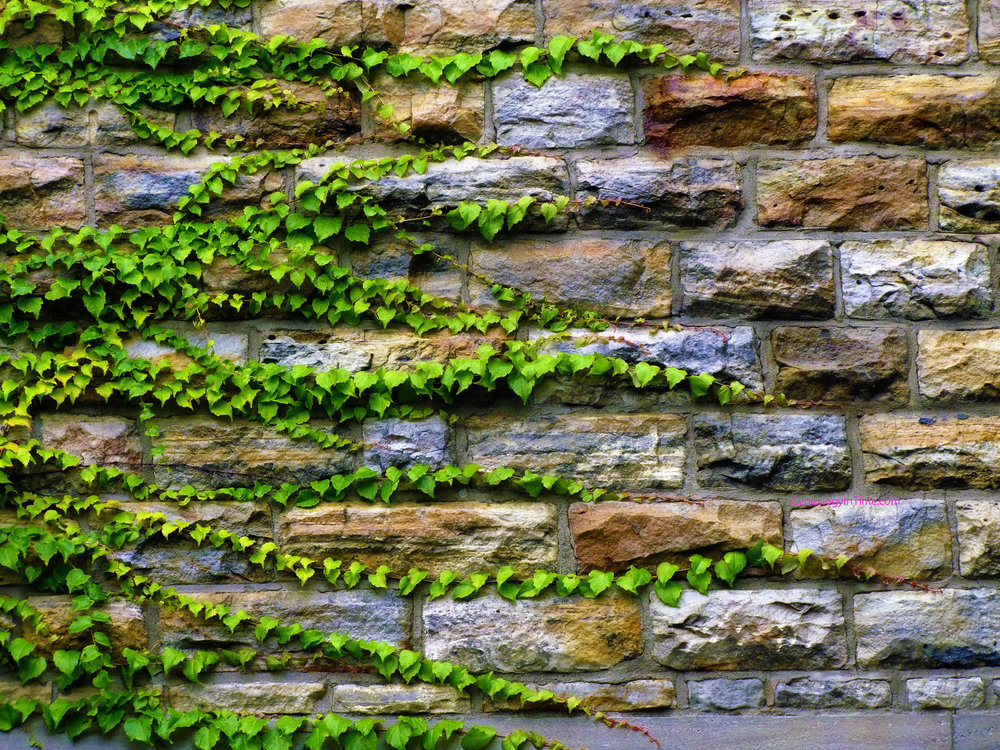 ivy_growing_on_stone_wall.jpg
