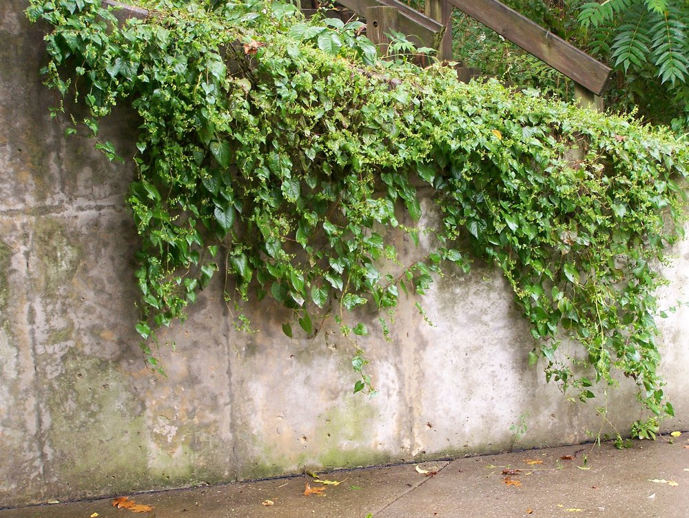 ivy_wall_by_earthy_stock.jpg
