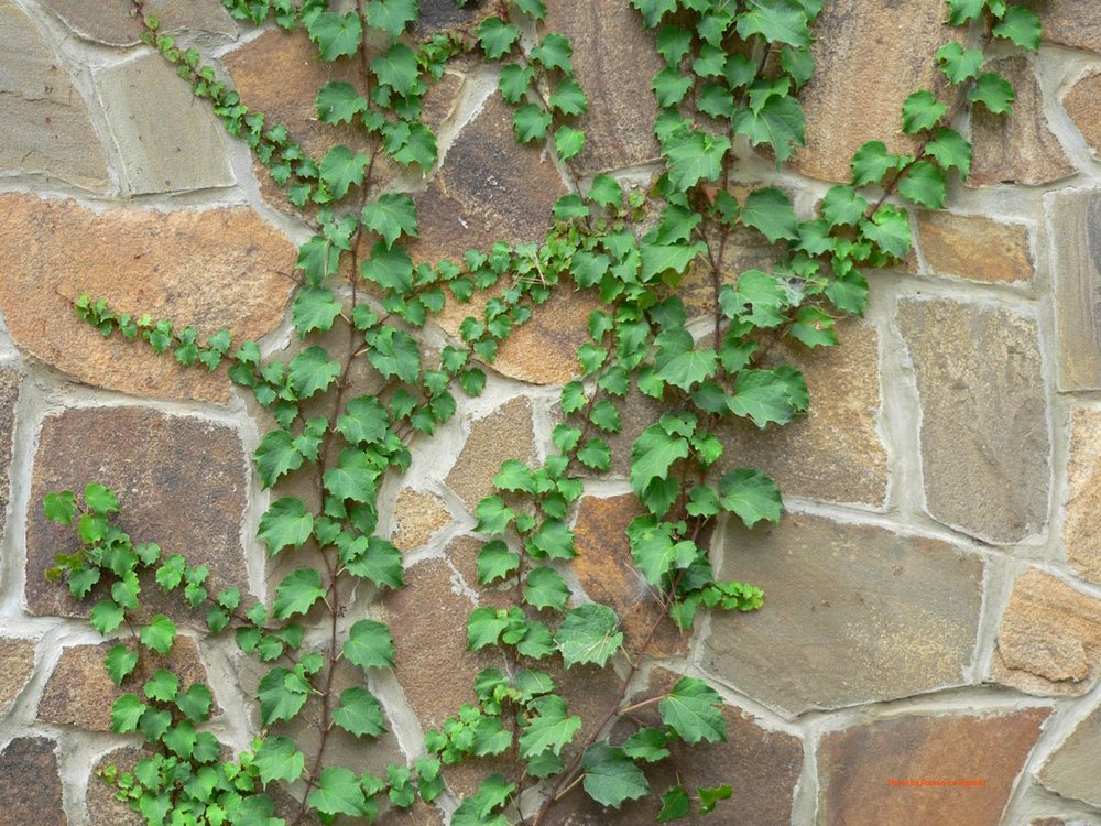 Partenit-Ayvazovskoe-Ivy-on-wall.jpg