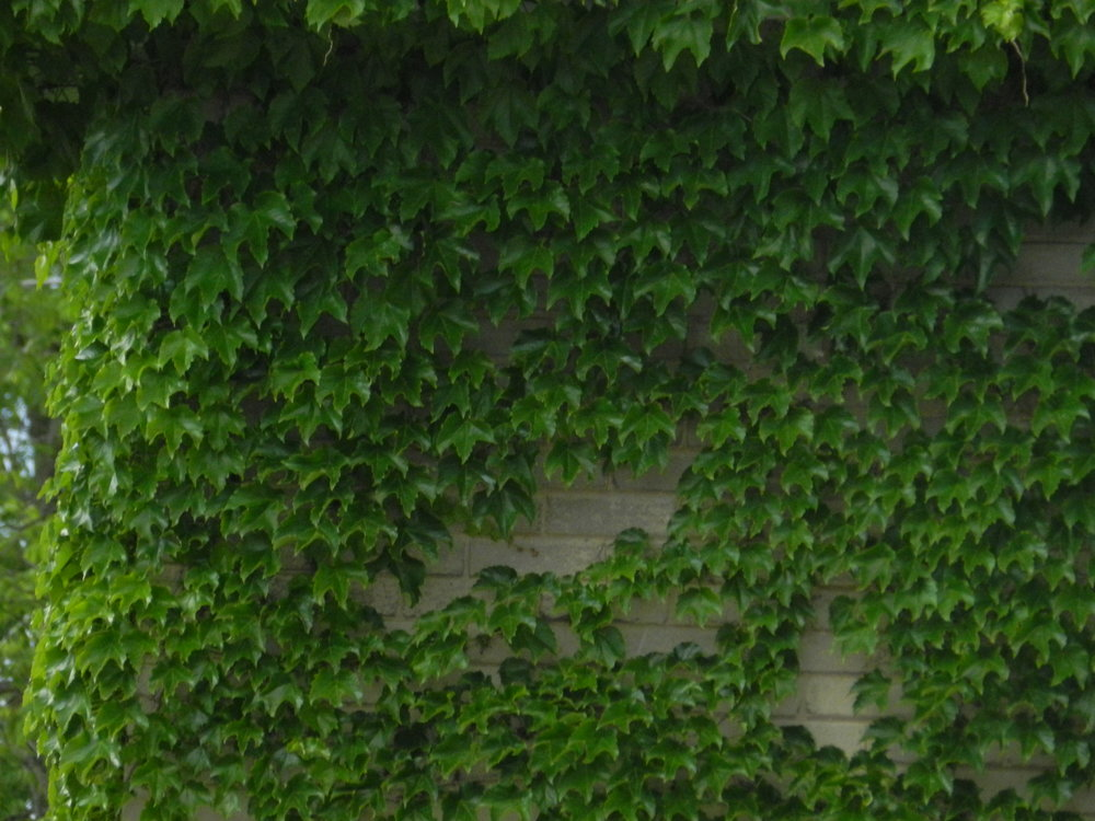 wall-of-ivy.jpg