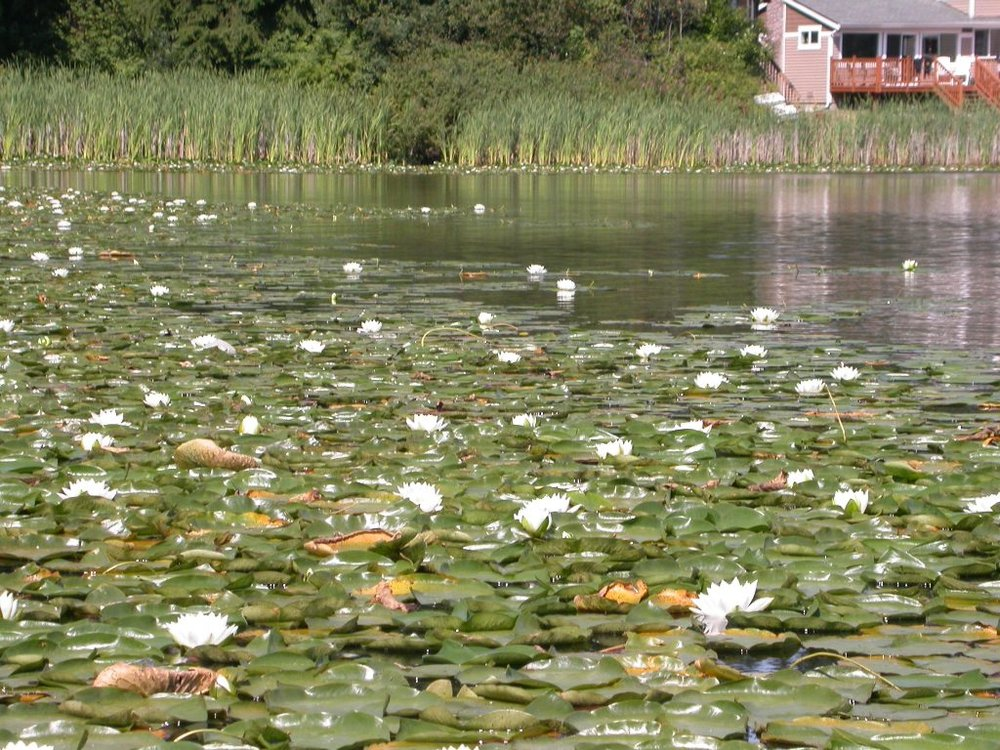 fragrant-waterlily-lake-infest.JPG
