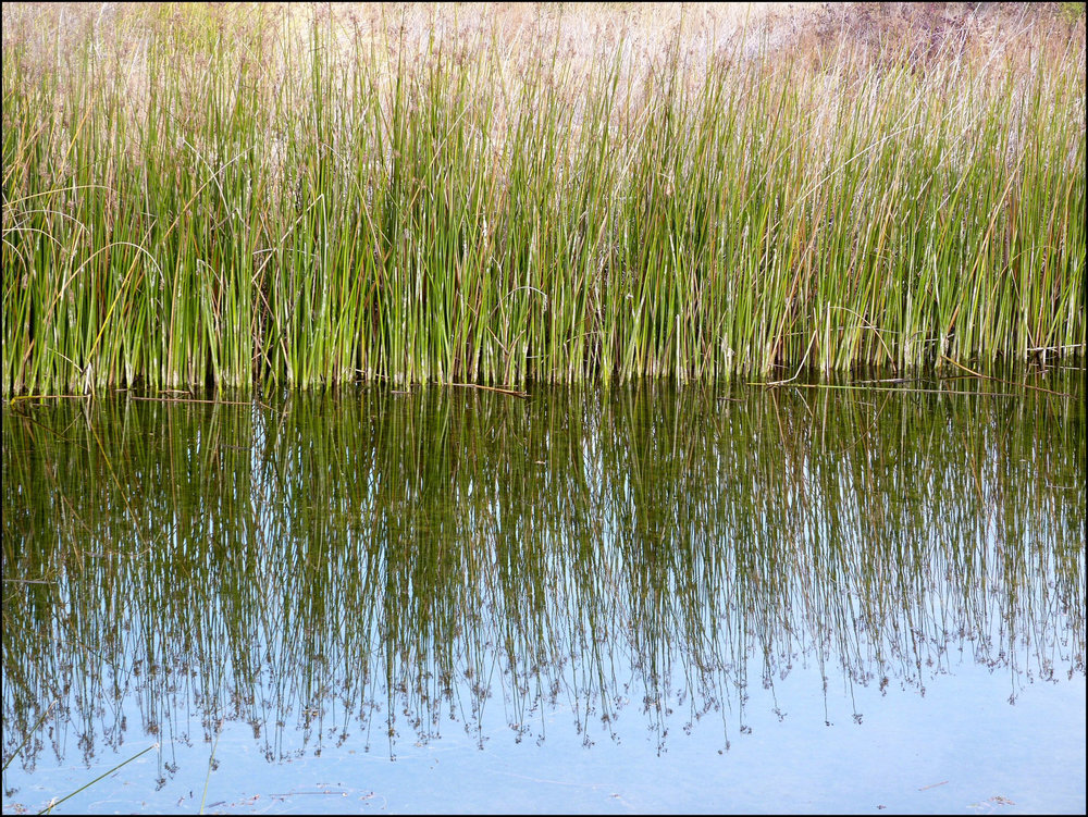 reeds-919.jpg