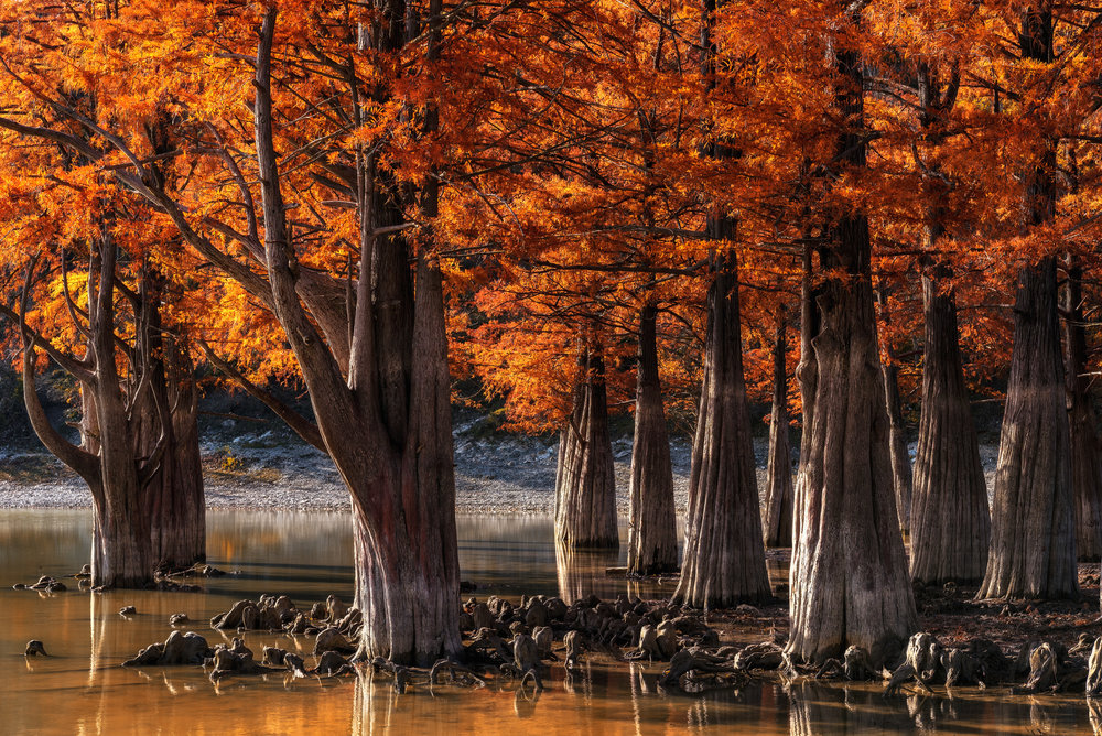cypress swamp - Russia.jpg