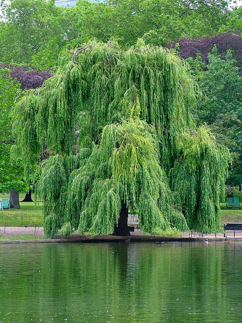 800px-Willow.jpg
