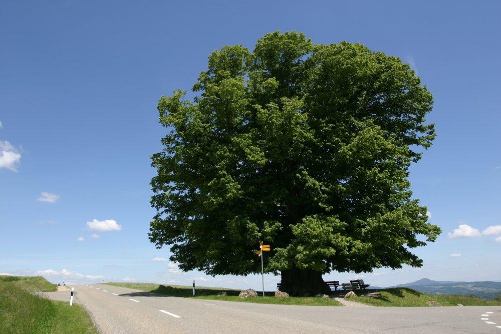 linden tree -Linde_von_linn.jpg