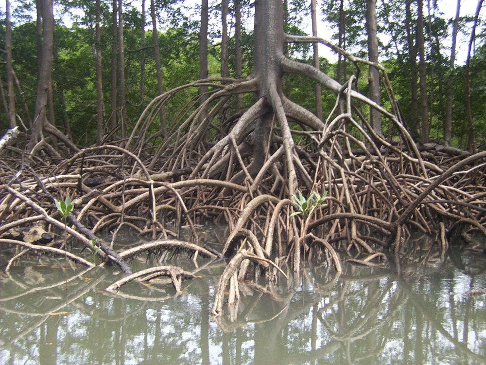Mangrove Roots_by_cesarpb.jpg