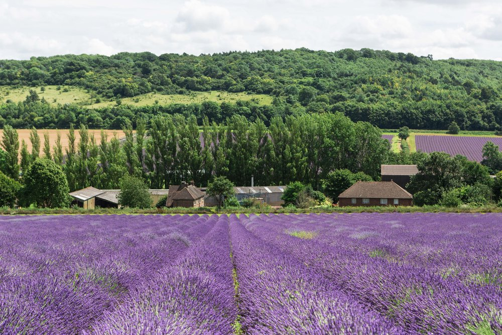 British lavender field