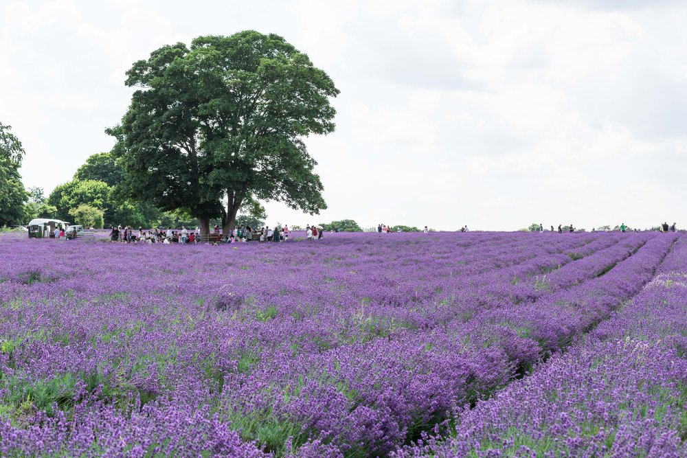 Mayfield lavender UK