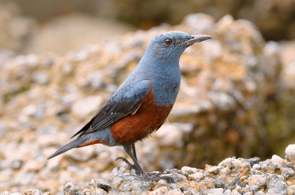The Blue Rock-Thrush (Monticola solitarius)