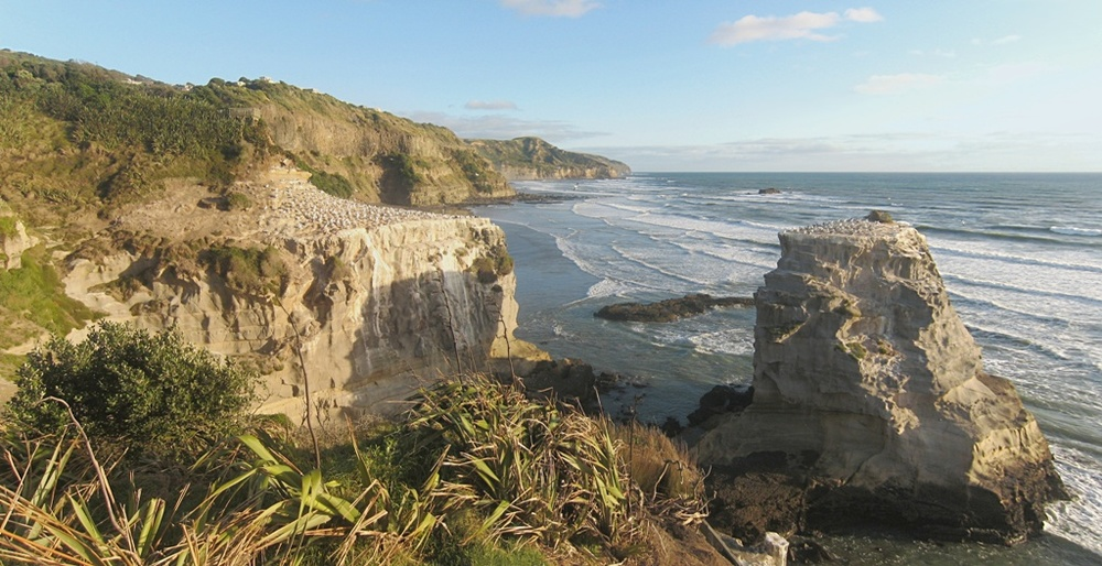 Muriwai Gannet bird colony