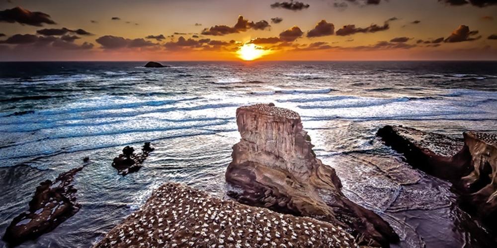 Muriwai Beach Gannet Bird Colony