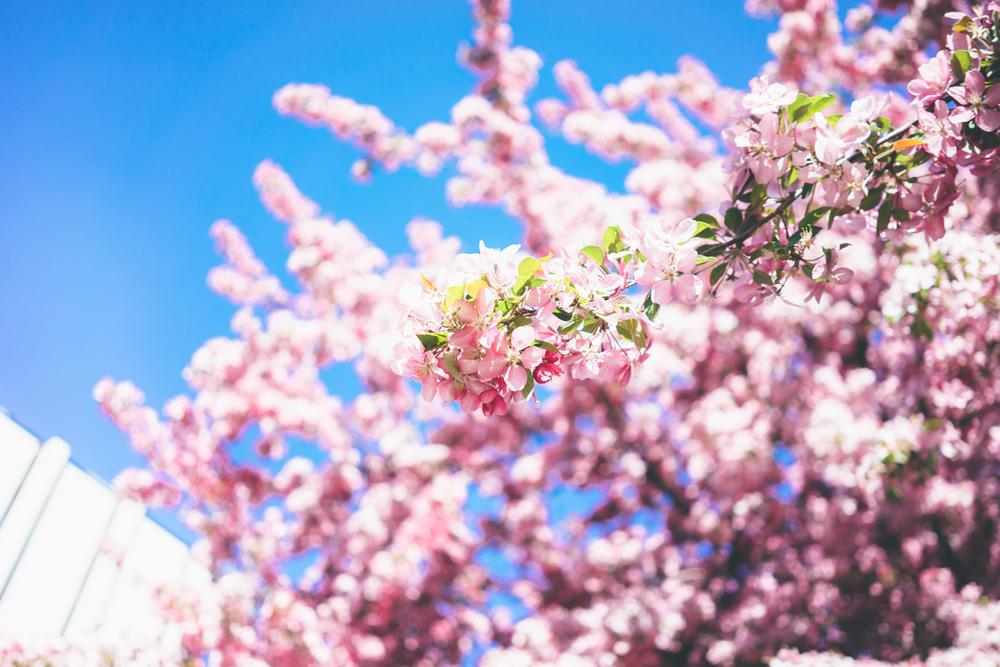 Flowering trees-02503.jpg