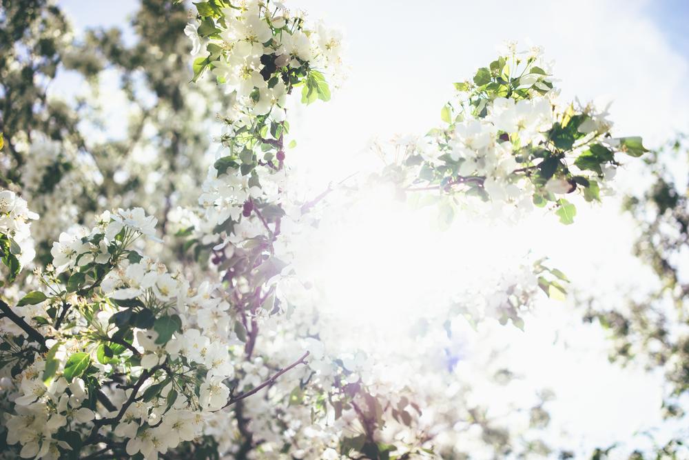 Flowering trees-02516.jpg