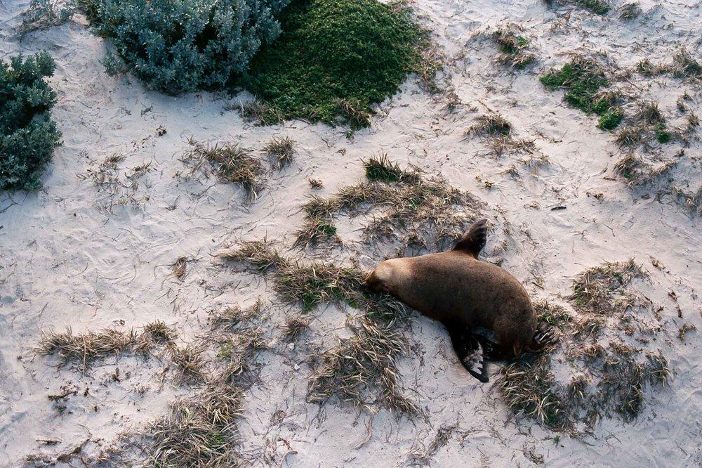 Kangaroo island sealsAA010A.jpg