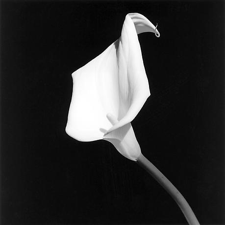 Robert Mapplethorpe – 23. Calla Lily, 1987 ( black and white )  'His vast, provocative, and powerful body of work has established him as one of the most important artists of the twentieth century.'