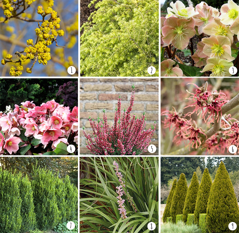 Photos courtesy of   Monrovia Nursery  : 1.  Cornus mas 'golden glory'  | 2.  Tsuga canadensis 'MonKinn'  | 3.  Helleborus x ballardiae 'HGC Cinnamon Snow'  | 4.  Helleborus x ballardiae 'HGC Pink Frost'  | 5.  Calluna vulgaris 'Nr 5163'  | 6.  Hamamelis x intermedia 'Diane'  | 7.  Buxus x 'Green Mountain'  | 8.  Liriope muscari 'Love Potion No. 13 ' | 9.  Juniperus chinensis 'Spartan'