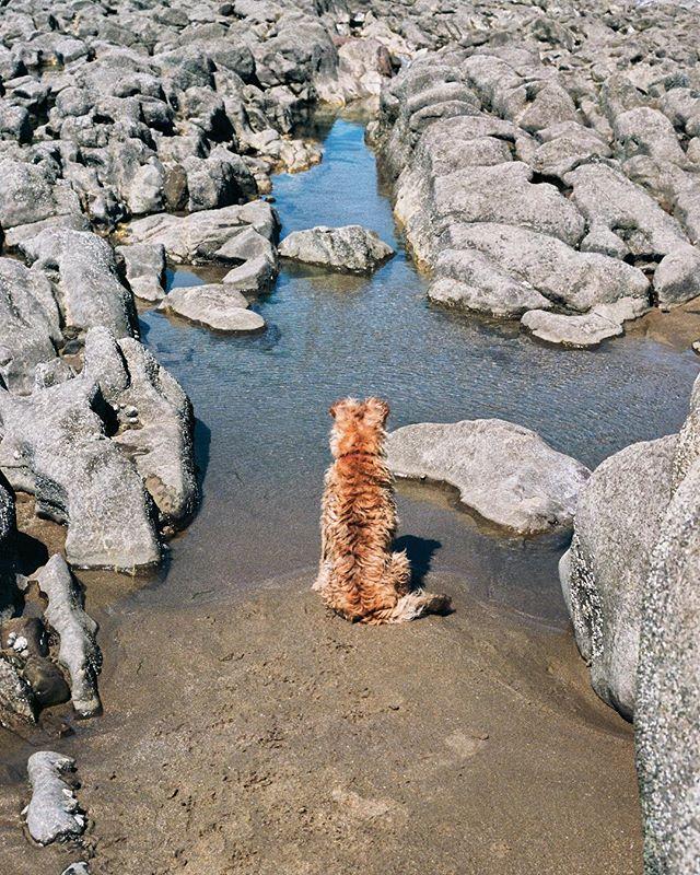 Contemplating . . . . #Still #photo #photography #dog #film #beach #canona1 #ektar100 #rockpool #exploring #terrier #border