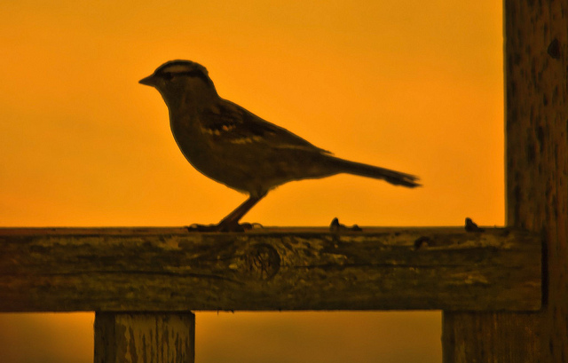sparrow at sunset