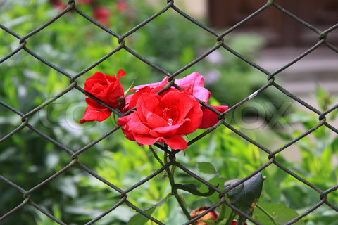 Roses growing through grate fence
