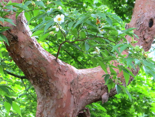 stewartia - bark-flowers.jpg