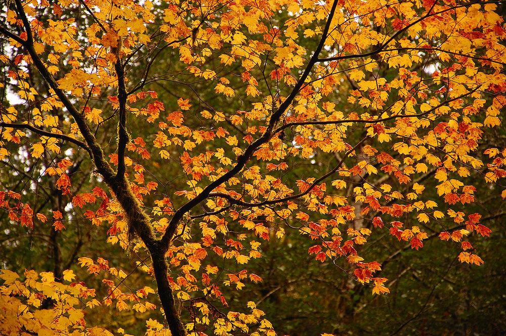 vine maple brilliance.jpg